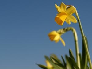daffodil-and-blue-sky-1384454-m