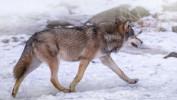 Ponad 400 leśników i myśliwych będzie liczyło rysie i wilki w lasach Warmii i Mazur