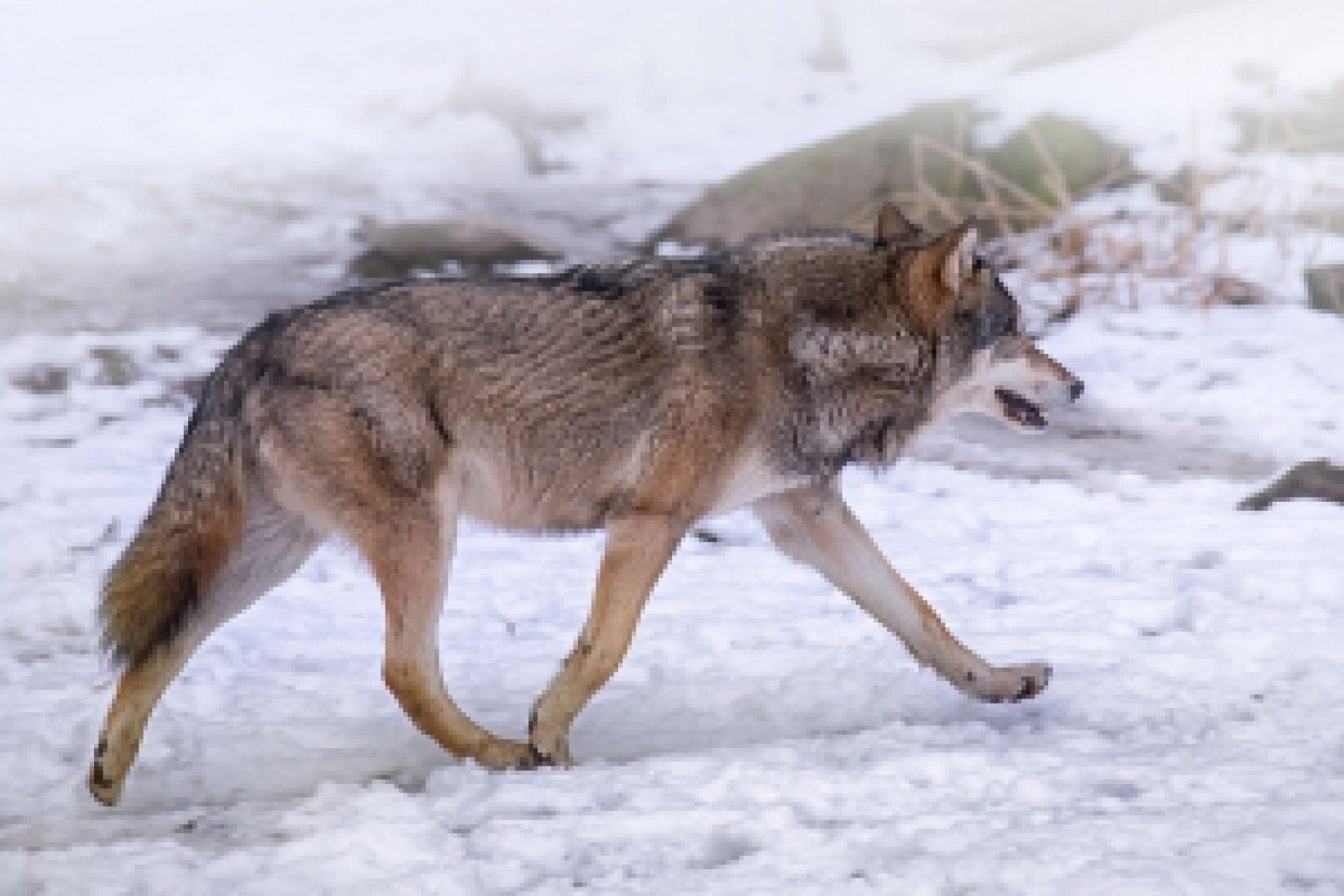 Skarb Państwa zapłacił prawie 3,9 mln zł za szkody spowodowane przez bobry i wilki
