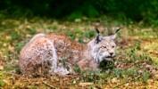 Ekolodzy sprowadzą do mazurskich lasów kolejne rysie
