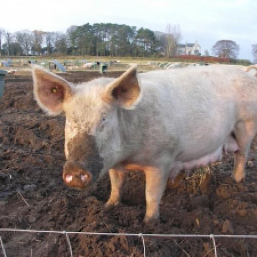 Rosja zakazała importu przetworów z mięsa wieprzowego z Polski i Litwy
