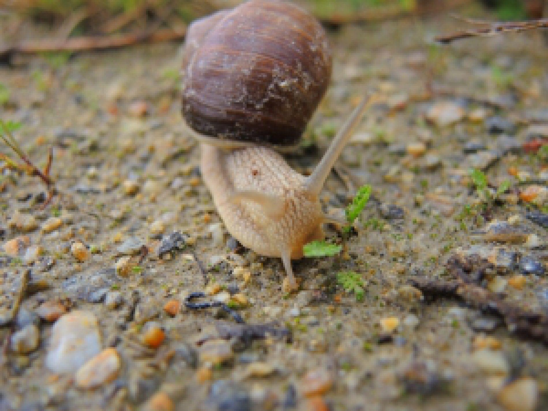 Na Warmii i Mazurach nie będzie można zbierać ślimaków winniczków