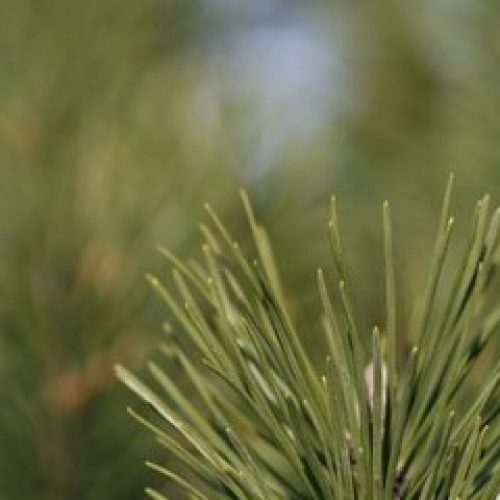 W czerwcu rozpocznie się akcja opryskiwania lasów sosnowych